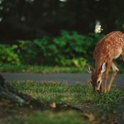 2019 slår rekord: Antallet af påkørte hjorte har aldrig været større