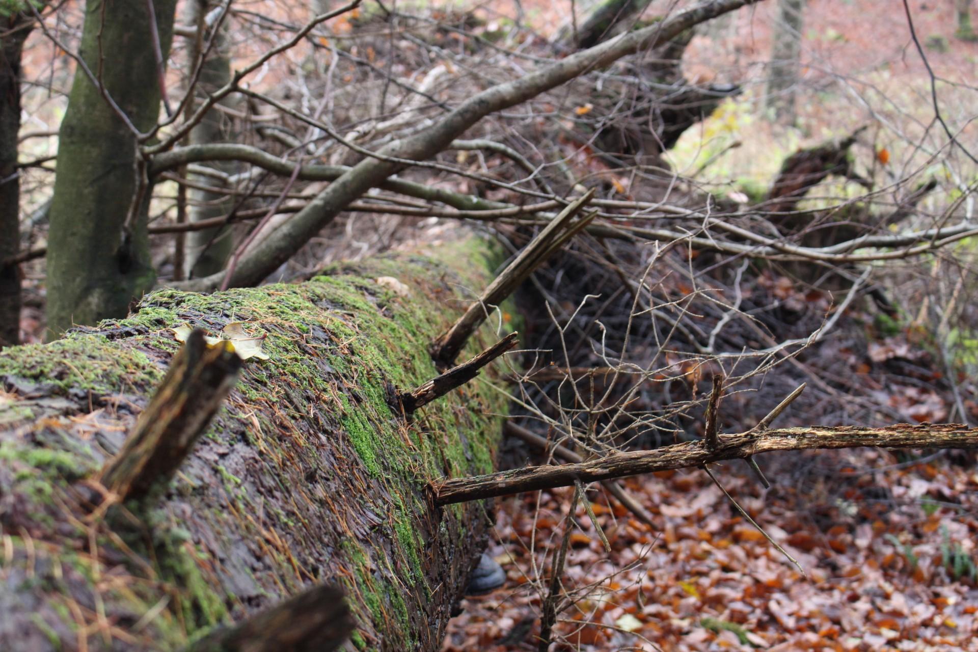 Færre døde træer i naturen=Færre levesteder til truede dyr