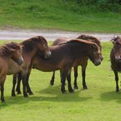 20 vilde heste skal forvandle gammel juletræsplantage til natur