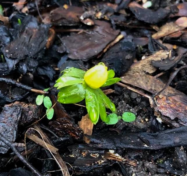 Første tegn på forår: Erantis spirer frem