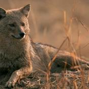 Sjakal vandrer i ulvens fodspor mod Danmark
