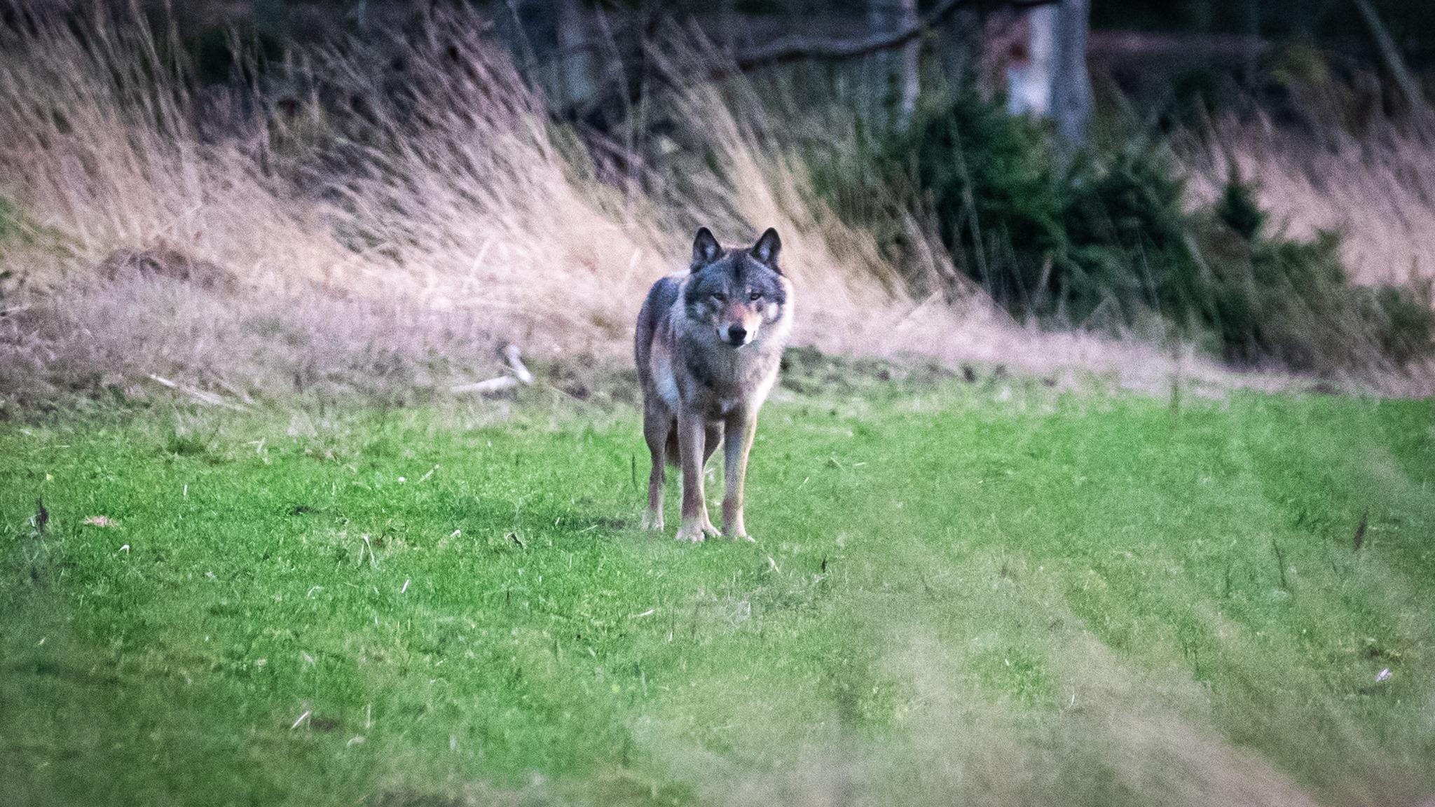 Flere danske ulve forsvundet sporløst siden 2012