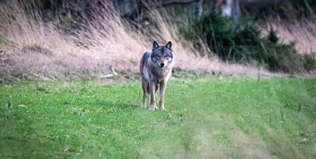 Mand stod ansigt til ansigt med ulv: Jeg gav et stort jubelbrøl fra mig bagefter