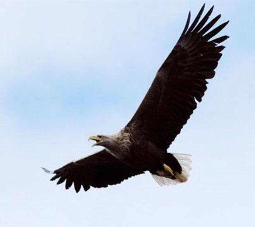 Oplev rovfugle i Skjern Enge