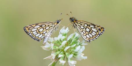 33 truede sommerfugle får fred: Nu må de ikke længere indfanges