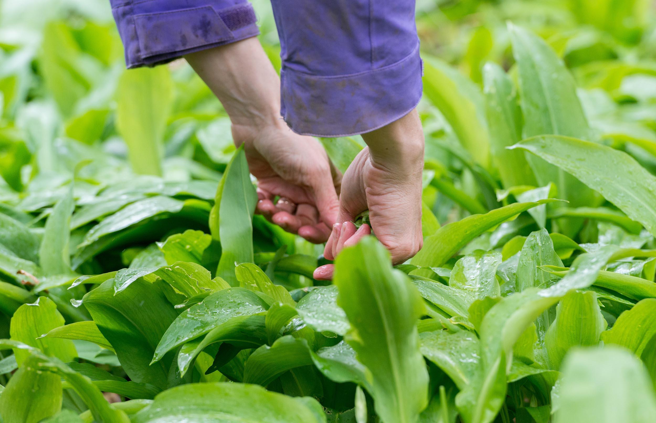 Spis dig mæt i mad fra naturens vilde spisekammer
