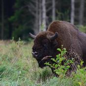 Bisonokser flytter ind i kendt dansk naturområde