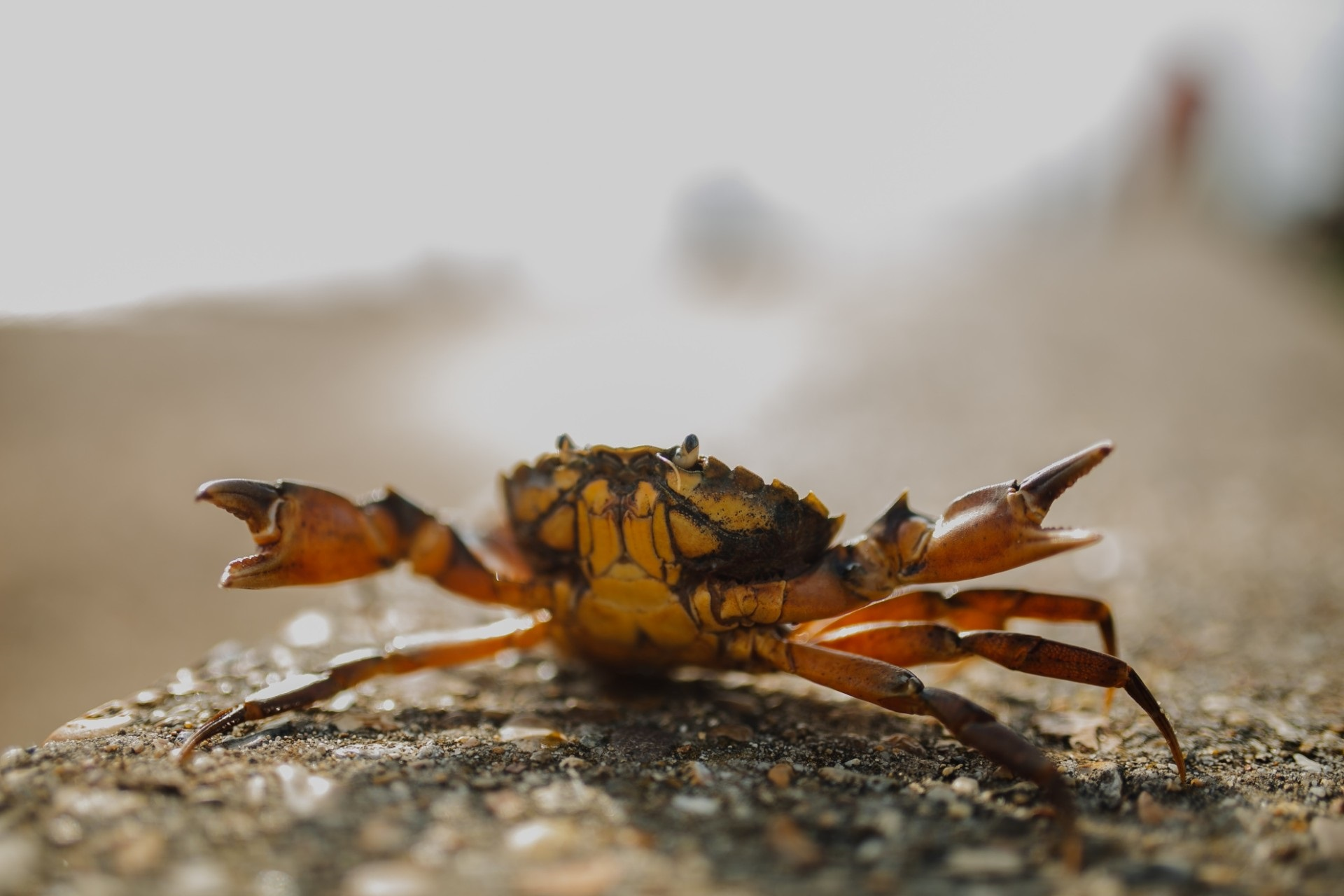 Red havet i din sommerferie: Fang og spis en strandkrabbe