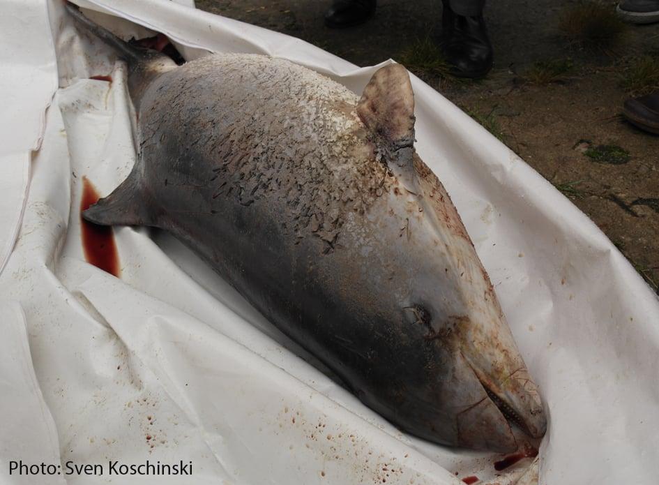 Forskere anbefaler: Red Østersøens marsvin med alarmer på fiskenet