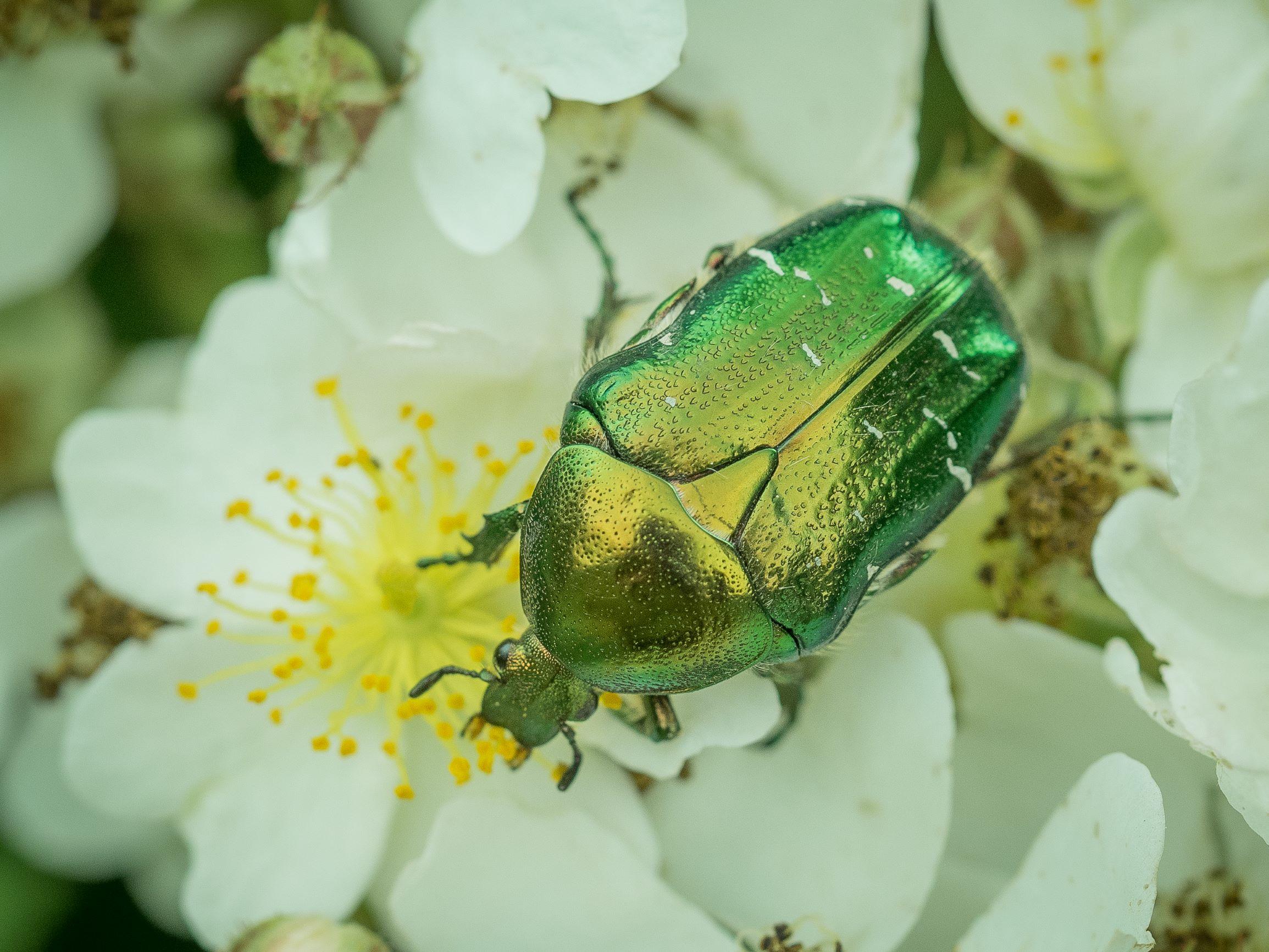 Grøn guldbasse på jagt efter dine blomster