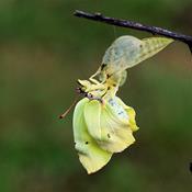 Sommerfuglenes forunderlige forvandling