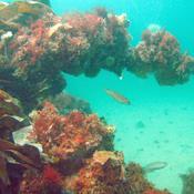 Boblerevene er Danmarks koralrev