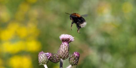 Mød de 7 mest almindelige humlebier