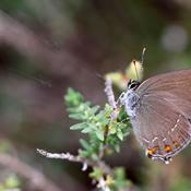 7 sommerfugle der for nyligt er forsvundet fra Danmark