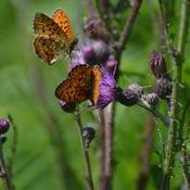 Engperlemorsommerfugl har et enkelt levested tilbage på Fyn