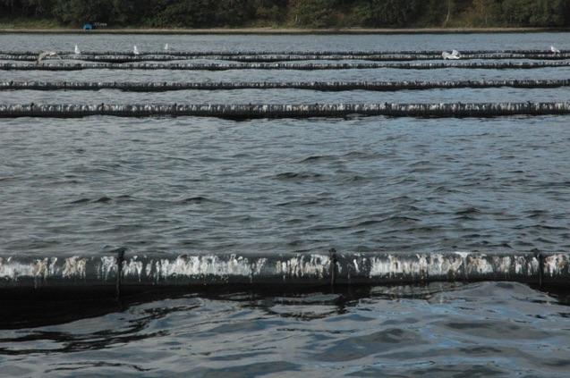 Muslingefarme skulle rense danske fjorde: Skaber ulækkert badevand og måske iltsvind