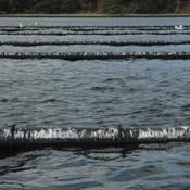 Maria Reumert Gjerding til ministeren: Få styr på muslingeopdræt