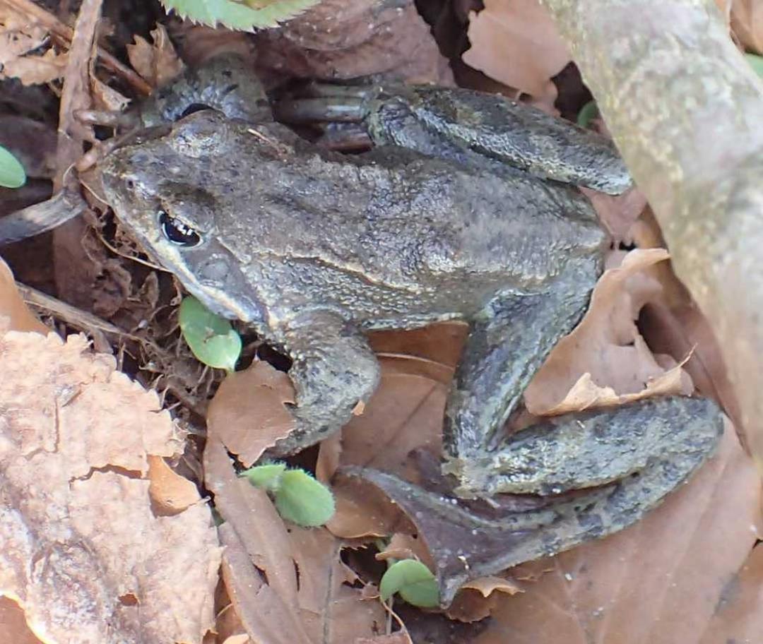 forårstur til Vestskoven: frøer, frøøg, haletudser, tudser, salamandre