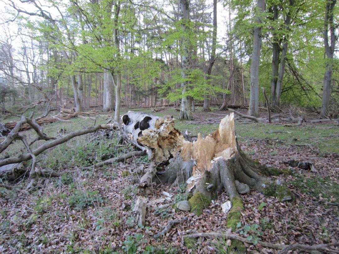 Foredrag: Danmarks skove, nu og i fremtiden - vedfabrikker, reservater for biodiversitet eller...?