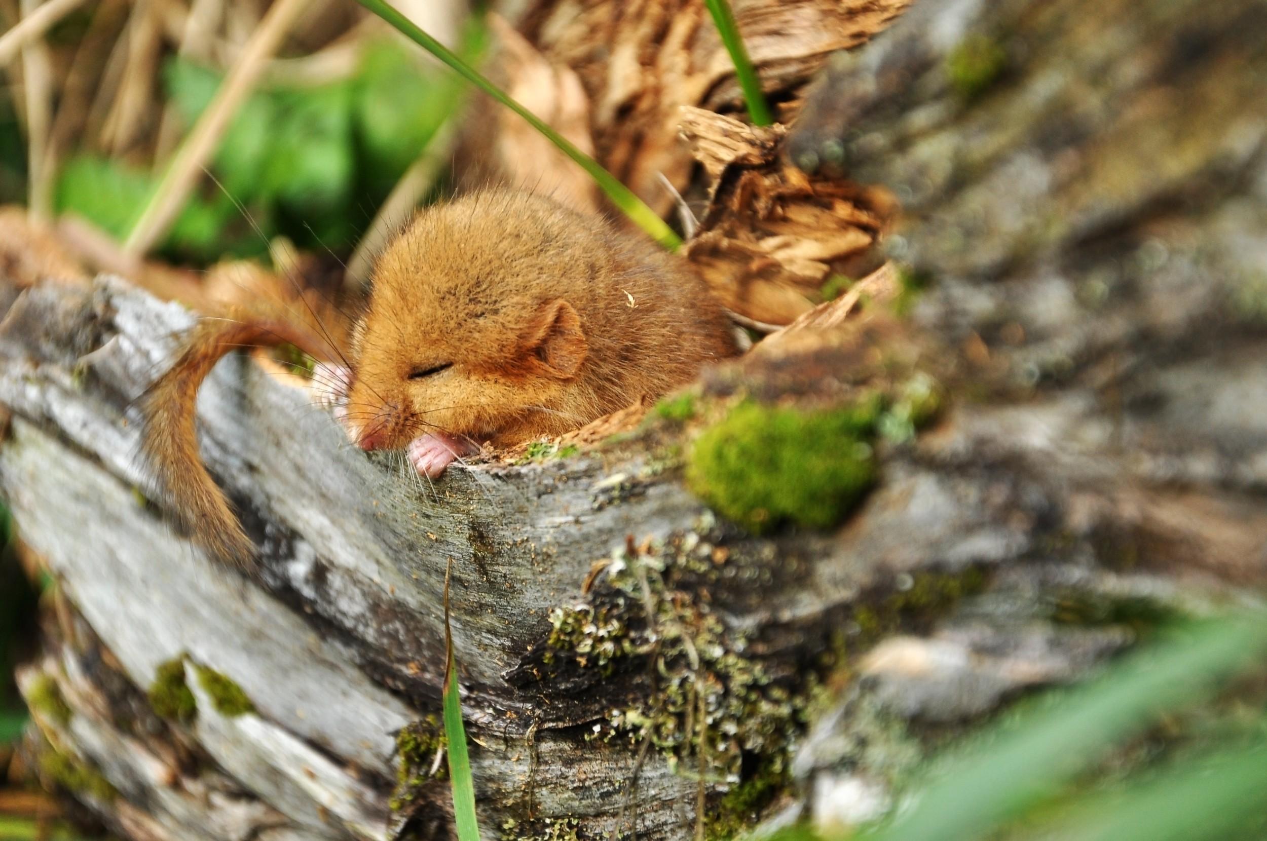 Skovejer hjælper den truede hasselmus: Det giver mening for mig