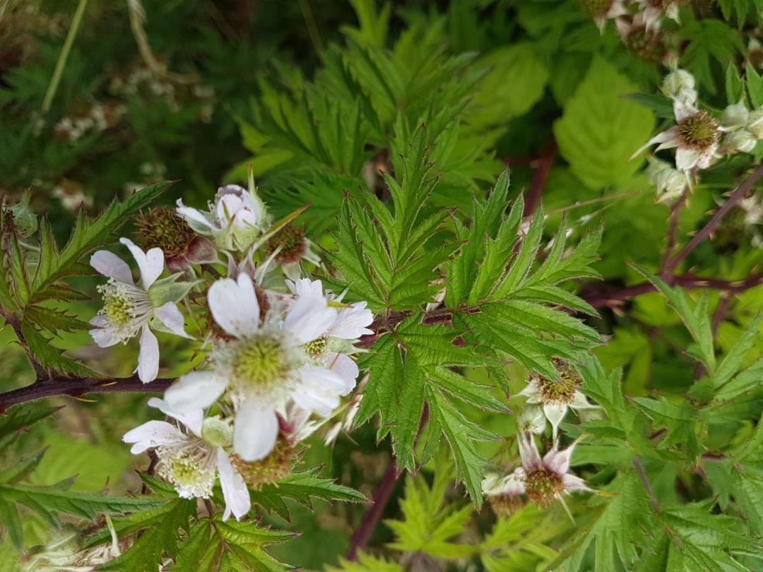 De Vilde Blomsters Dag på Kær Vestermark