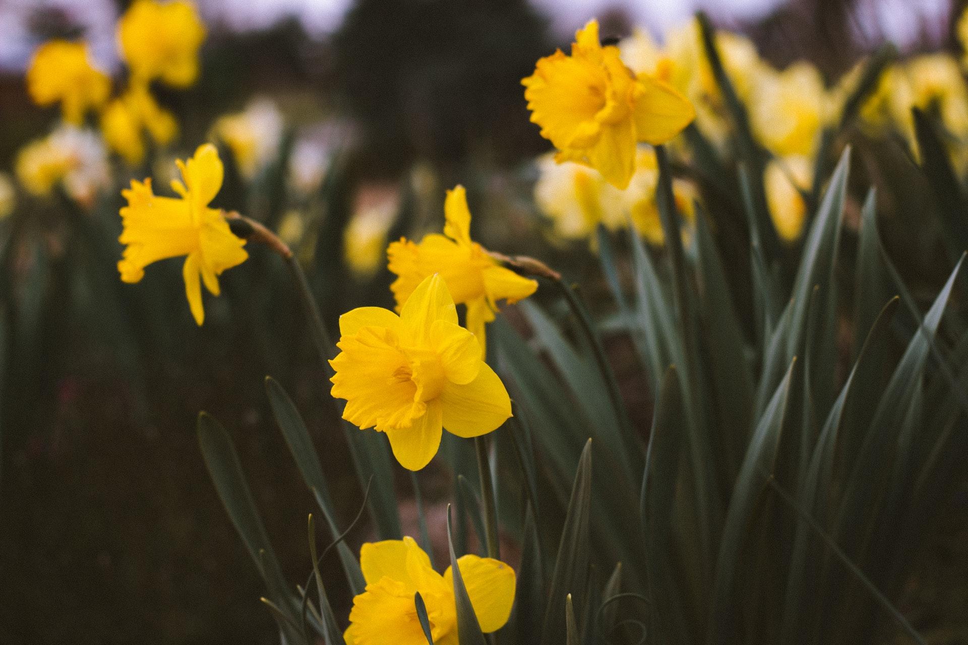 Forårets bier er vilde med blomsterløg: Derfor skal du plante dem ud
