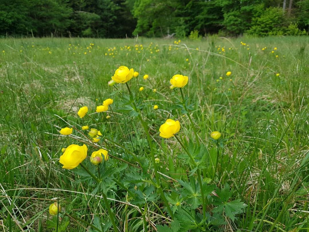 De Vilde Blomsters Dag i Bidstrup Skovene