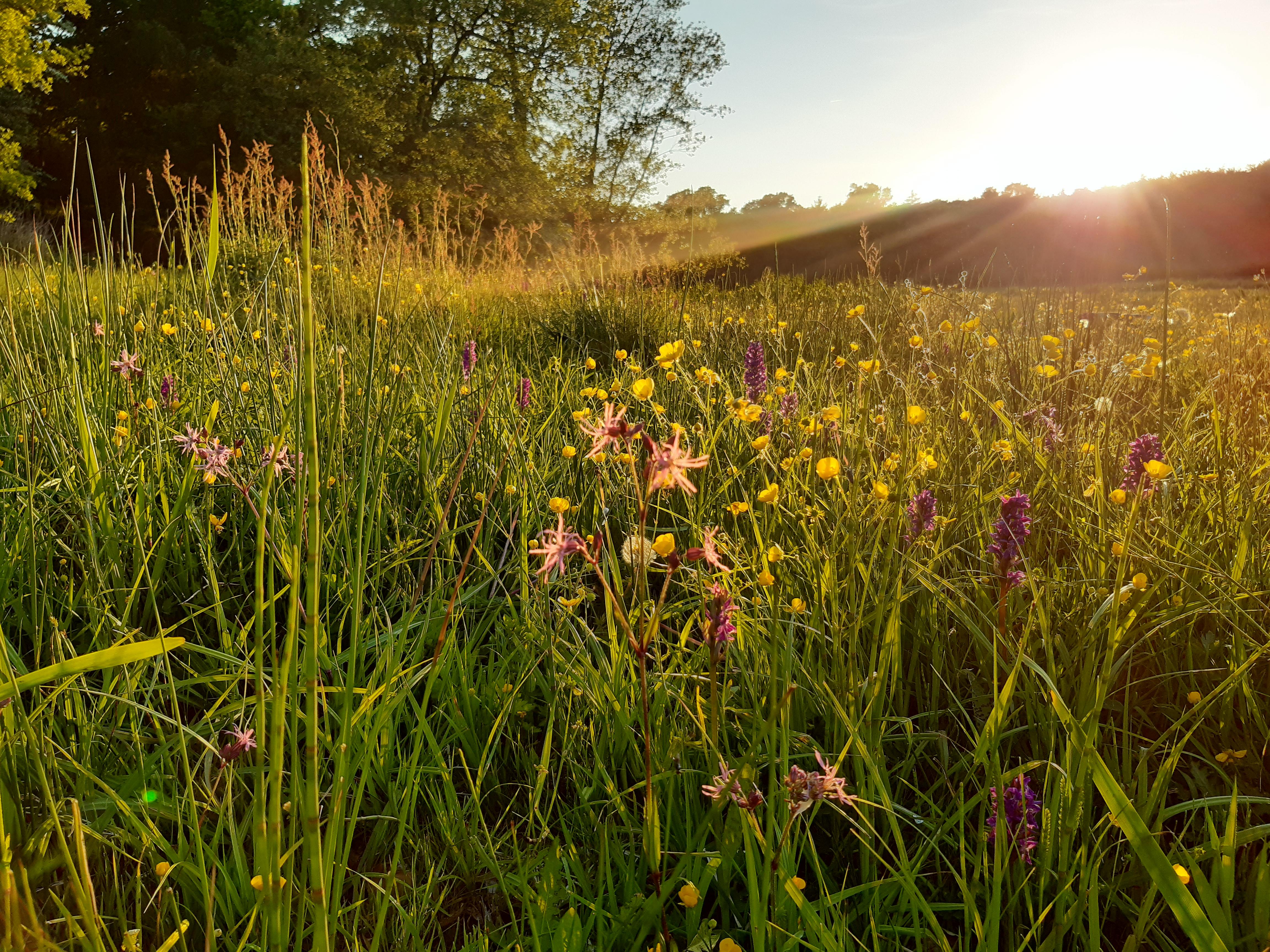Lokal indsats får to orkidé-arter til at blomstre på Skovsgaard Gods