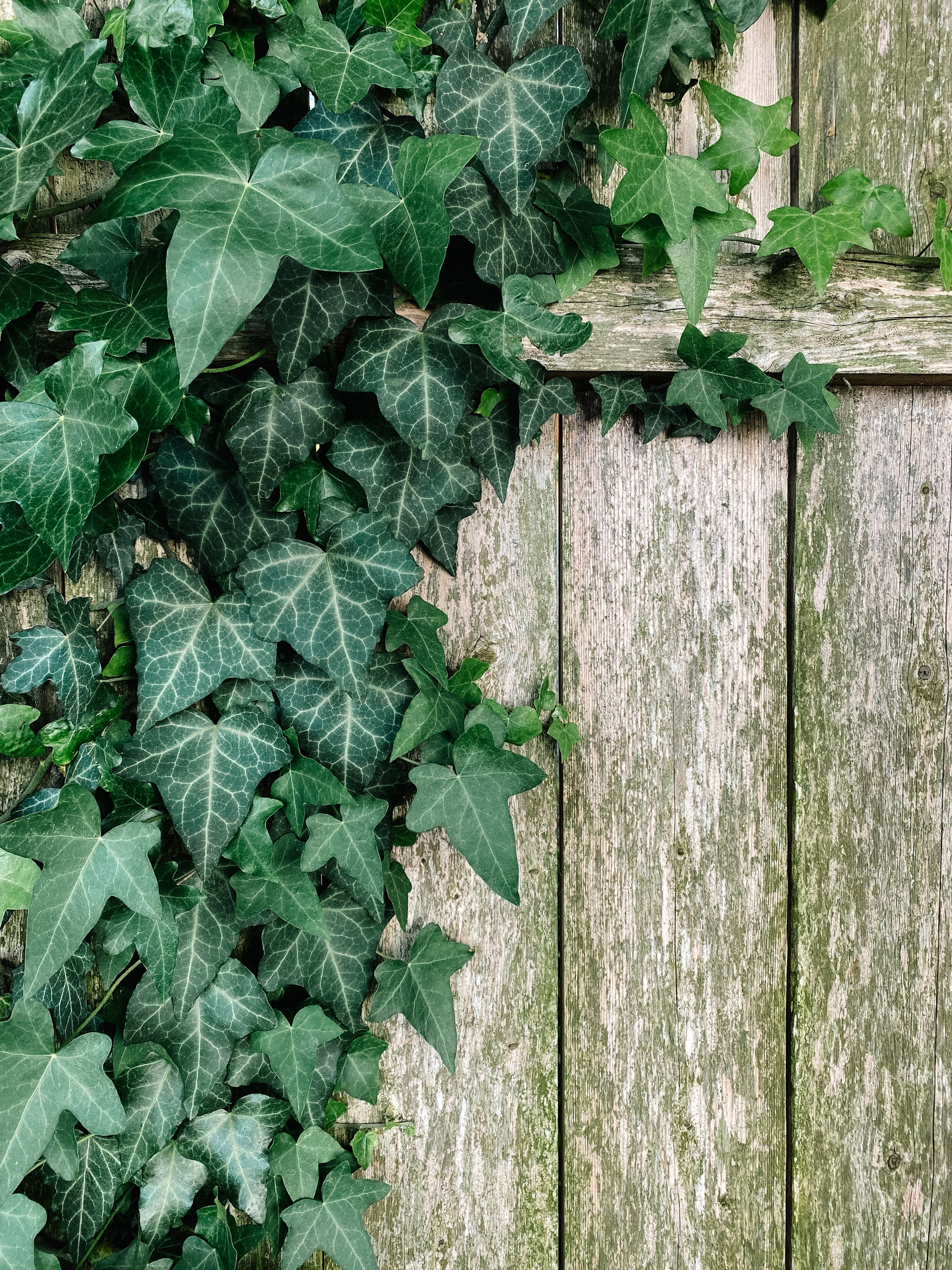 Vedbend: En grøn gave til haven