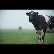 Husdyr: Regering igen på kant med EU-Kommissionen