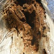 Stop fældningen af de gamle træer