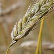 Bioraffinaderi er skidt for miljøet