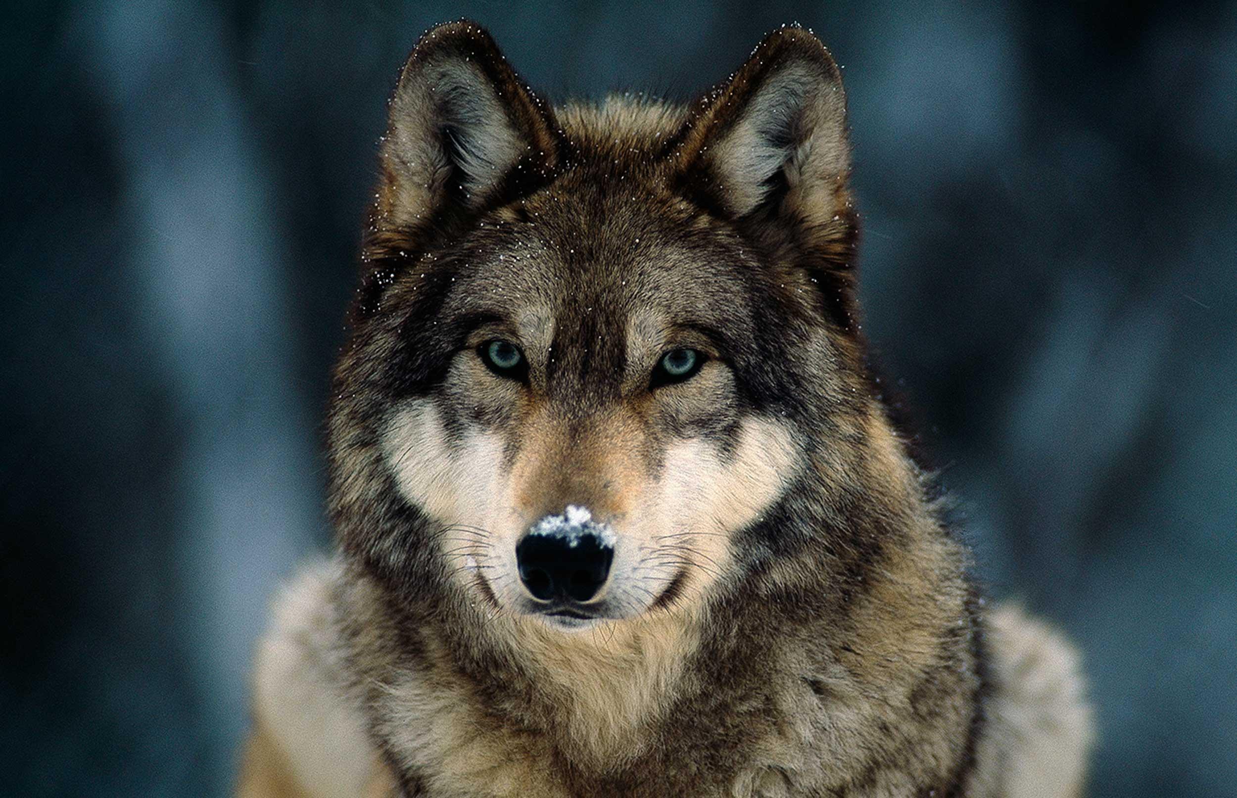Vi skal udrydde konflikterne, ikke ulven