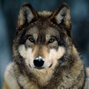 Skal du være bange for ulve?