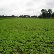 Landbruget dropper vigtige afgrøder