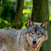 EU om landbrugets krav: Nej ulve kan ikke bare skydes