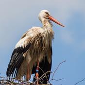 Storkefar venter på storkemor